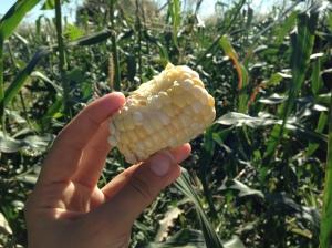 The freshest corn I've ever eaten