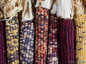 This image gives us a sense for the amazing variety of maize. http://images.wisegeek.com/indian-corn-variety.jpg