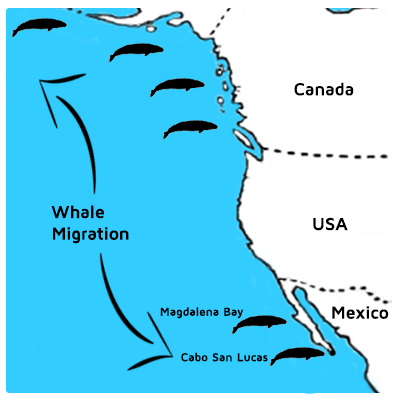 gray-whale-migration-map-cabo-san-lucas-magdalena-bay
